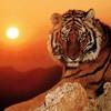 tigre-94
