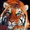 tiigre