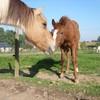hardret-horse