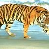 tiger1selawi