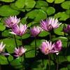 Fleur--De--Cactus
