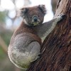 koalas-oeufs