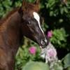 chevaux-arabes69480