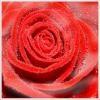 monde-rose-de-chouchou