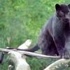 tiger-noir5