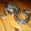 snakenico32