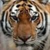 nos-amis-les-tigres