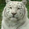 tigre4000