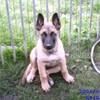 mon-chien-sam