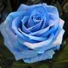 rosebleue433