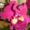 orchidream