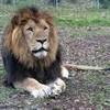 hicham--lion