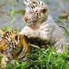 tigre-en-danger