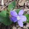 violettedesbois
