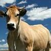 lavachemania-boviner
