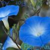 Flor--Azul