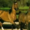 passionhorses01