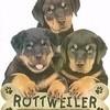 Concour-photo-rottweiler