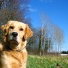 The-Golden-retriever