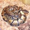 pythonrobert