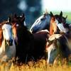 chevaux-des-mers