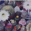 fleurs-de-cactus