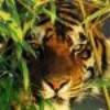 tigresse97115