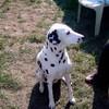 la-dalmatienne