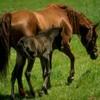 chevauxfan