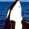 orca-mlf