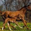 chevaux---poney