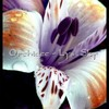 orchidee-lys