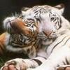 la-fan-de-tigre-25