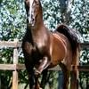 les-races-de-chevaux23