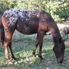 chevaux-pie999