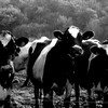 vaches03