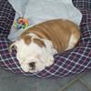 Hestelle-bulldog