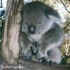 le-koala-du-Verrier