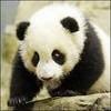 panda-du-78