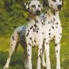 Dalmatien-pour-la-vie