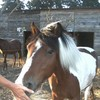 cheval-grand-galop84