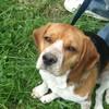 CARAH-beagle
