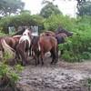 les-chevaux-Ondrais