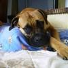 LoLa-Bull-Mastiff
