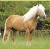 horse-cha-eva