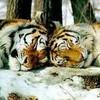 tigresse077