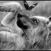 pitit-loup