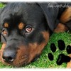 love-Rott-Doberman