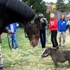 chevaux-a-gOgO-shb