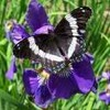 unpapillon